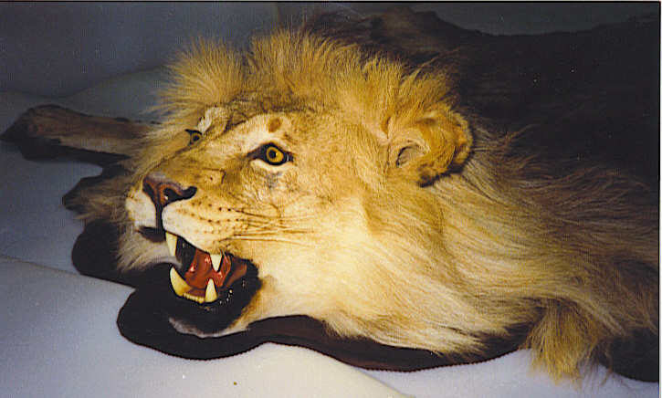Lion Skin Rug Rugs Sale